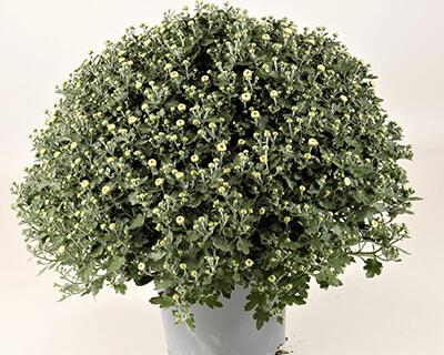 Chrysanthemen-Büsche
