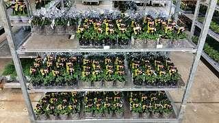 Oxalis-Alternativen auf dem Blumengroßmarkt Düsseldorf