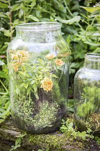 Gartenpflanze des Monats Juni auf dem Blumengrossmarkt Düsseldorf