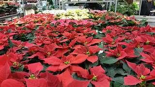 Die Sterne sind zum Greifen nah auf dem Blumengroßmarkt Düsseldorf